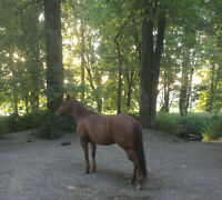 6 year old AQHA Mare- outstanding pedigree