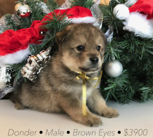 ***Christmas Pomsky Puppies!*** Only a few left!