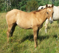 AQHA Working Cow Horse Prospect