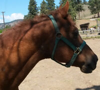 Sweet, healthy Curly gelding for adoption