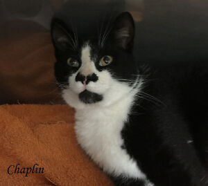 Affectionate Tuxedo Cat for Adoption- Vaccinated & Neutered