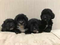 Jackapoo Puppies (Jack russell x toy poodle)