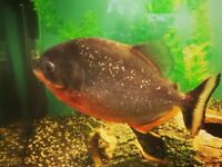 Red Bellied Piranha and 3ft tank