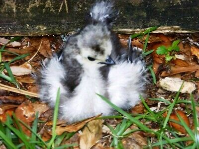 6 BEARDED SILKIE HATCHING EGGS