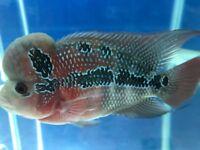 Grade AA Flowerhorn Cichlids | 4-6 inch | Freshwater Fish