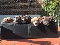 Blue Staffordshire bull terrier/ French Mastiff cross puppies