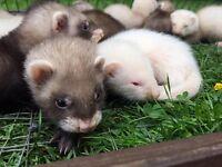 Baby (Gills & Hobbs) Ferrets For Sale