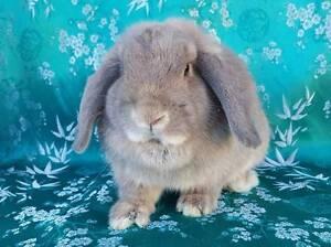 2 Pure Dwarf Lop Bunnies ♥ Hamley Bridge Wakefield Area Preview