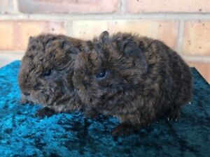 Texel and Merino Cavies Oak Flats Shellharbour Area Preview