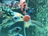 African Cichlids | £6.00 each or 5 for £25.00 | 2-2.5 inch | Peacocks | Electric Blue |Tropical Fish