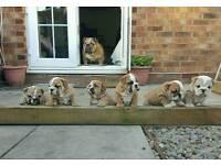 KC Registered Bulldog Pups