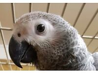 Four month old baby African grey for rehoming.
