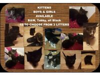 KITTENS - READY NOW