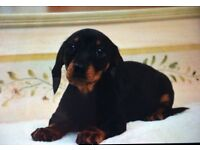 Stunning miniature dachshund puppies.