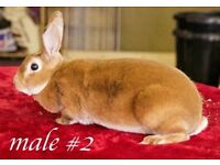 Standard rex rabbits for sale .