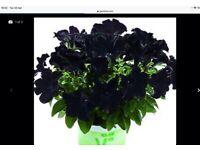 BLACK PETUNIAS -amazing BLACK FLOWERS