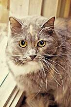 AC0155: Modigliana - CAT for ADOPTION - Vet work included Inglewood Stirling Area Preview