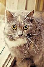 AC0155 : Modigliana - CAT for ADOPTION- Vet work included Inglewood Stirling Area Preview