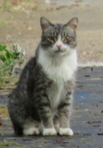 lost grey and white male tabby