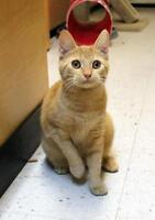 "Young Female Cat - Domestic Short Hair-Tabby: ""Dinah"""