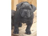 American pocket bully for sale