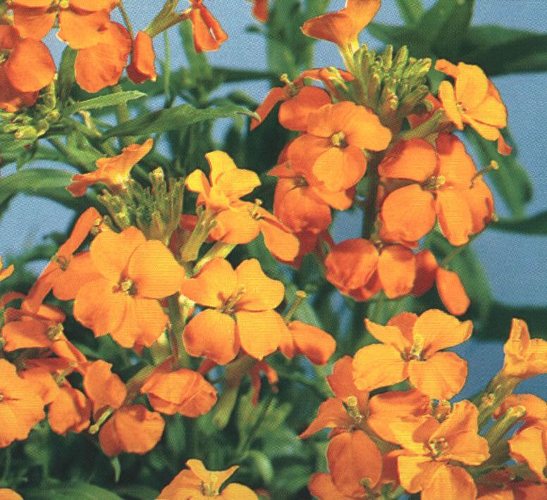 Wallflower Siberian 250 Seeds