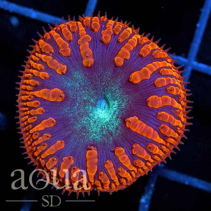 ASD - 189 Devils Jewel Blasto - WYSIWYG - Aqua SD Live Coral Frag - $26.00