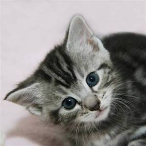 Tabby Kittens Blacktown Blacktown Area Preview
