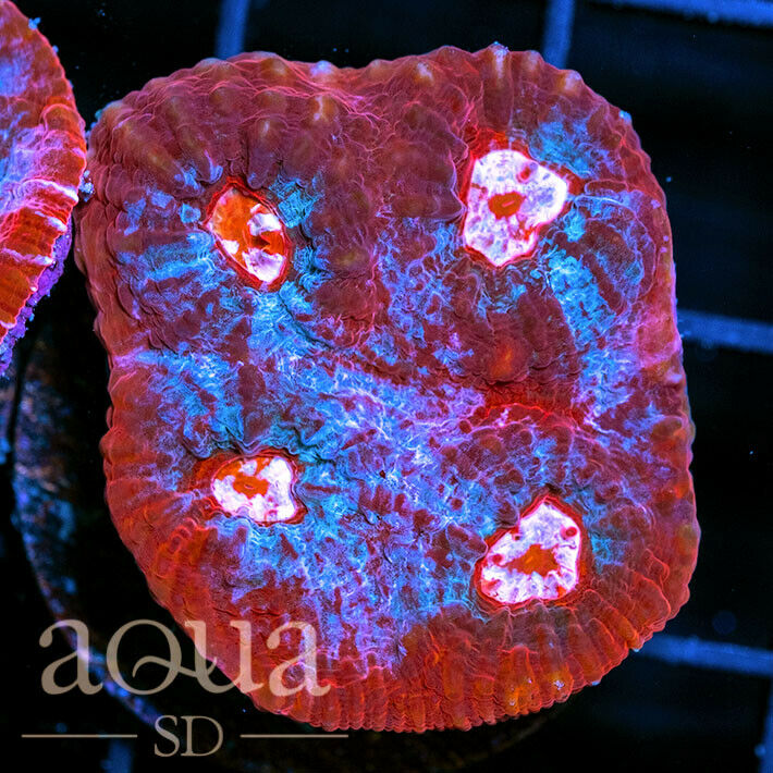 ASD - 186 Flaming Magic Chalice - WYSIWYG - Aqua SD Live Coral Frag - $38.00