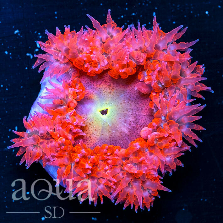 ASD - 193 Flamingo Jumbo Rock Anemone 2-3 - WYSIWYG - Aqua SD Live Coral Frag - $80.00