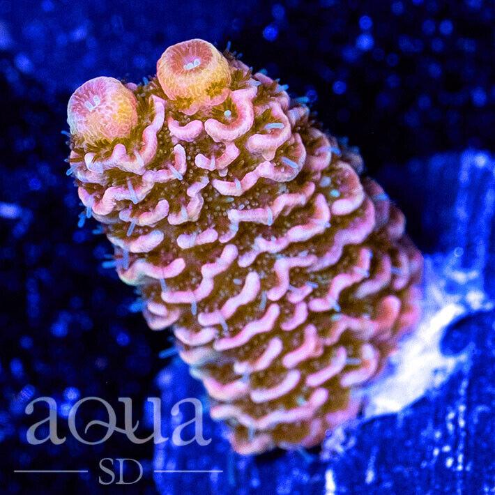 ASD - 185 Pink Sushi Acropora - WYSIWYG - Aqua SD Live Coral Frag - $26.00
