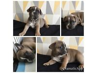 Blue French bulldog male puppy's