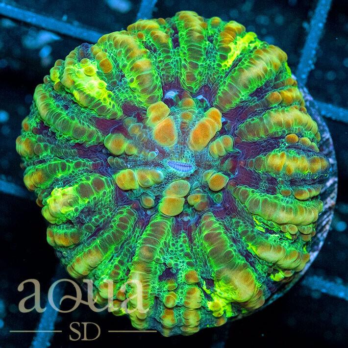 ASD - 182 Mephitic Button Scoly - WYSIWYG - Aqua SD Live Coral Frag - $36.01
