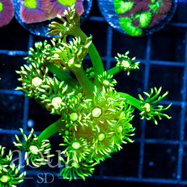 ASD - 186 Radioactive Goniopora - Aqua SD Live Coral Frag - $22.50