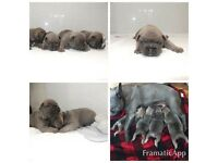 Blue fawn sable French bulldog puppy's