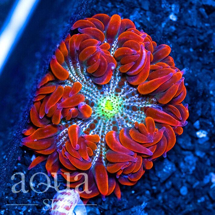 ASD - 203 Cherry Bomb Rock Anemone - Aqua SD Live Coral Frag - $48.00