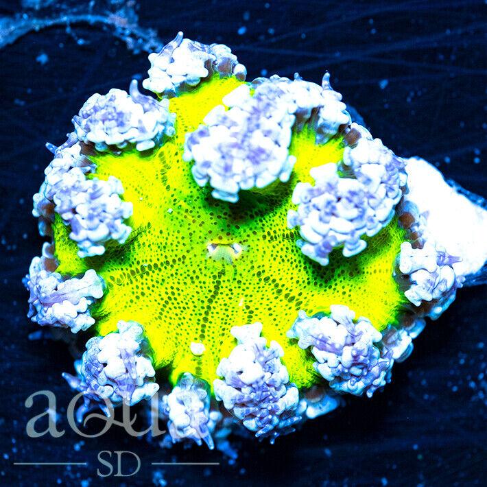 ASD - 185 Lightning Cloud Rock Anemone - Aqua SD Live Coral Frag - $41.00