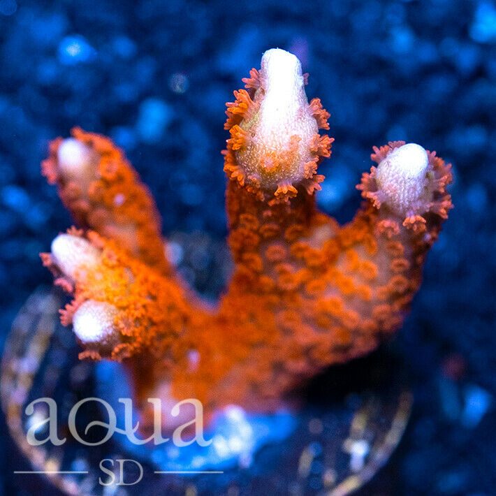 ASD - 196 Firehawk Digi - Aqua SD Live Coral Frag - $21.50