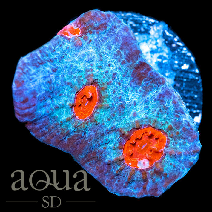 ASD - 202 Red Eye Wombat - Aqua SD Live Coral Frag - $26.00