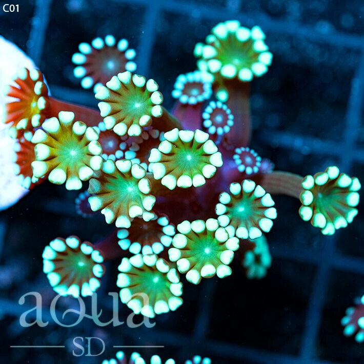 ASD - 195 The Invaders Alvepora - Aqua SD Live Coral Frag - $29.77