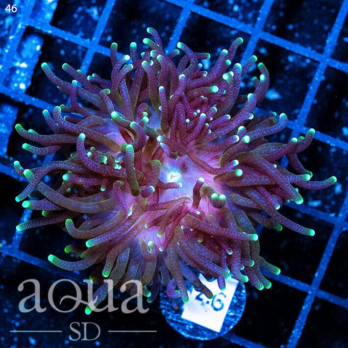 ASD - 187 Purple Tentacled Euphyllia - WYSIWYG - Aqua SD Live Coral Frag - $74.00
