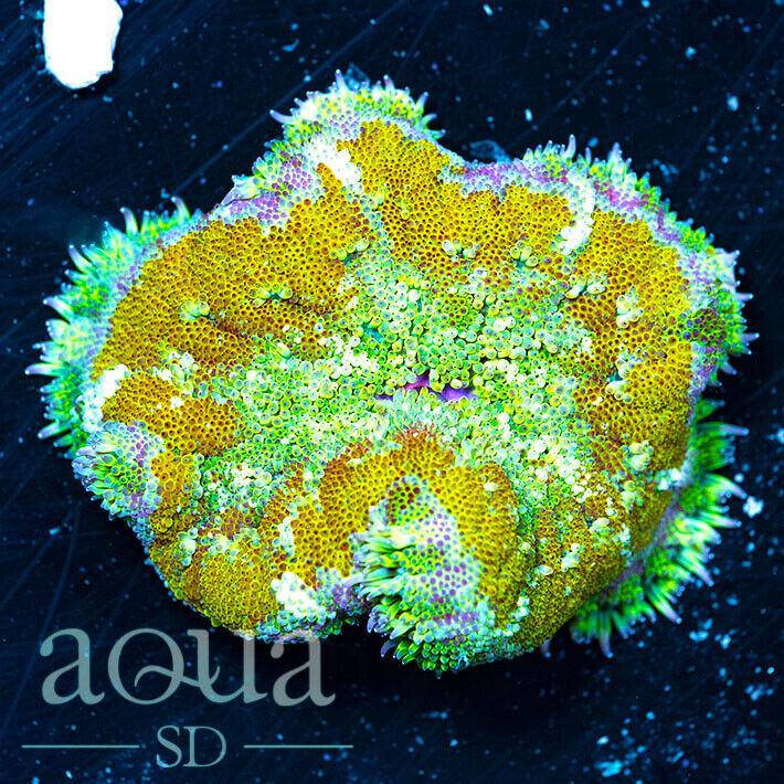 ASD - 201 Cali Creamin Maxi Mini Anemone - Aqua SD Live Coral Frag - $20.50