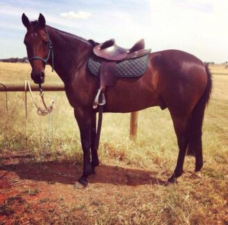 Awesome green broke gelding priced to sell!!! Sanctuary Point Shoalhaven Area Preview