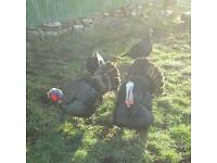 Norfolk Bronze Turkeys for sale PRICE IS FOR THE GROUP. WILL SPLIT.