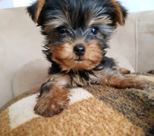 Chiots Yorkshire Terriers