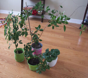 4 Healthy Large House Plants, Very Nice, Large With Pots
