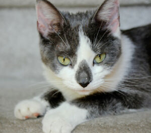 FOUND grey and white Cat