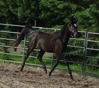Young athletic horse: Western, endurance, hunter, or dressage?