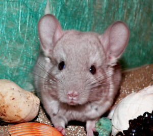Chinchilla Male Beige!