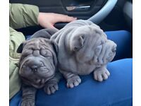 sharpei puppies two girls available black and blue